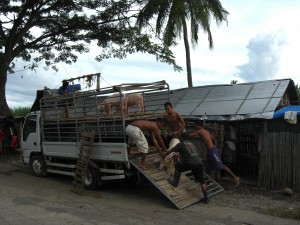 Ribaboyan - Mitarbeiter bei verladen der Schweine